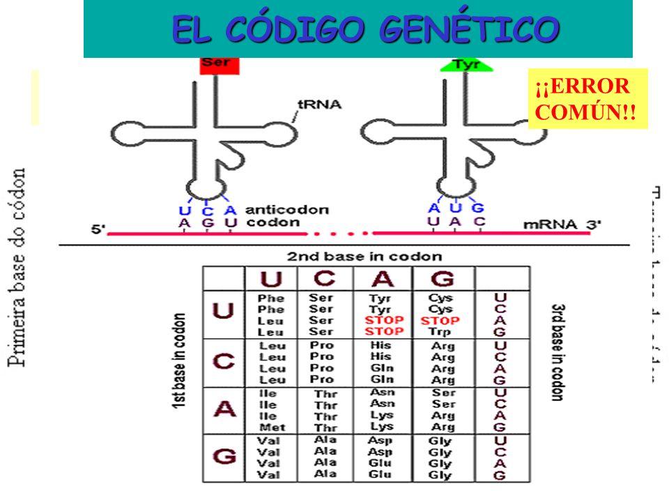EL CÓDIGO GENÉTICO EL CÓDIGO GENÉTICO ¡¡ERROR COMÚN!!