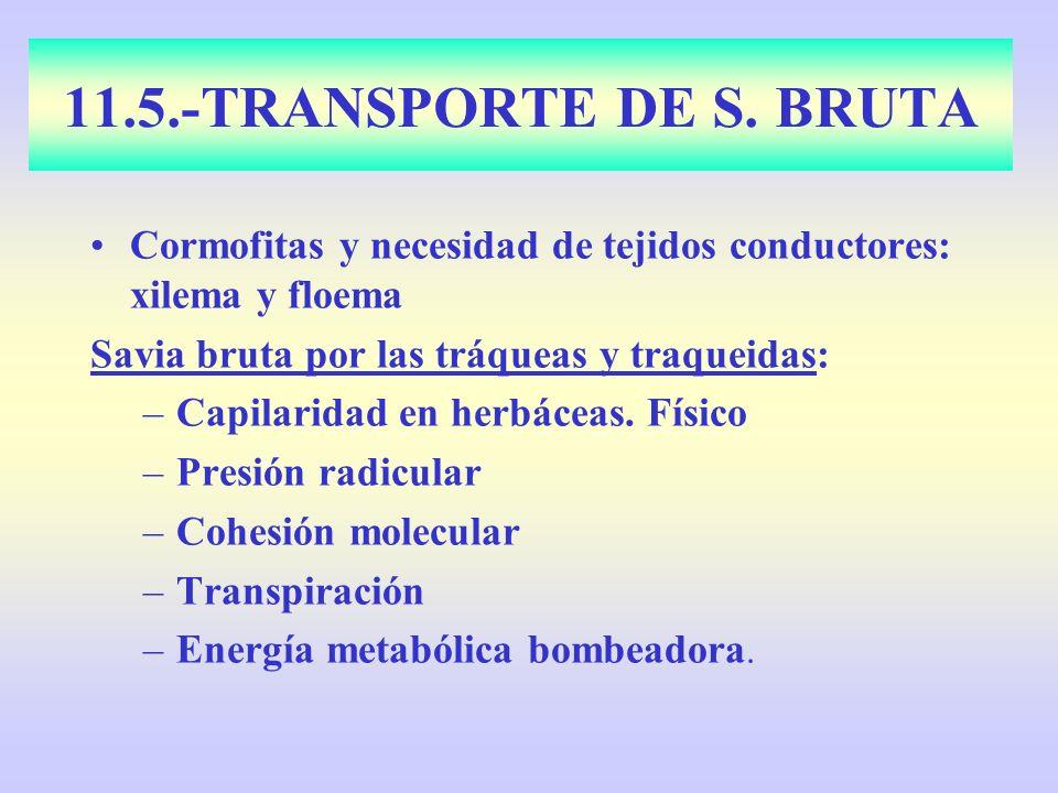 11.5.-TRANSPORTE DE S. BRUTA Cormofitas y necesidad de tejidos conductores: xilema y floema Savia bruta por las tráqueas y traqueidas: –Capilaridad en