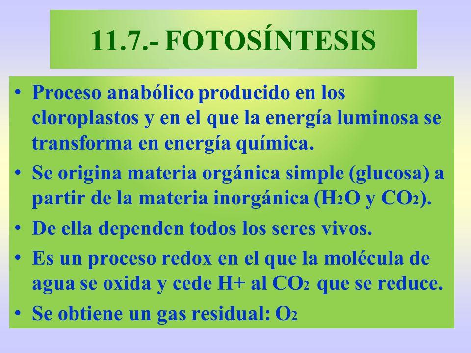 11.7.- FOTOSÍNTESIS Proceso anabólico producido en los cloroplastos y en el que la energía luminosa se transforma en energía química. Se origina mater