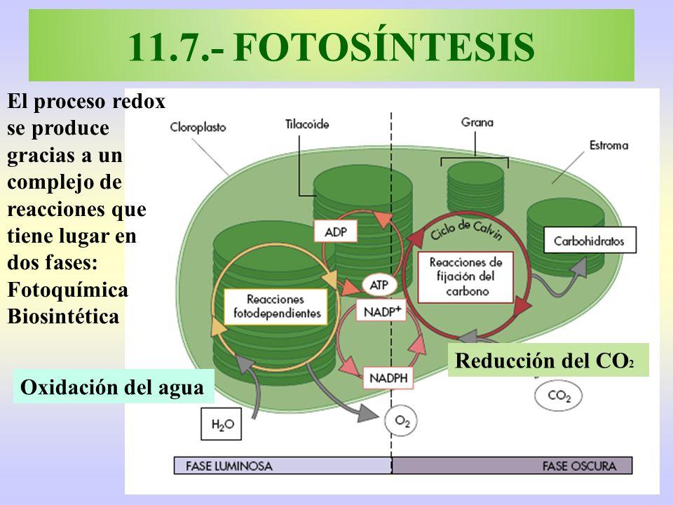 11.7.- FOTOSÍNTESIS El proceso redox se produce gracias a un complejo de reacciones que tiene lugar en dos fases: Fotoquímica Biosintética Oxidación d