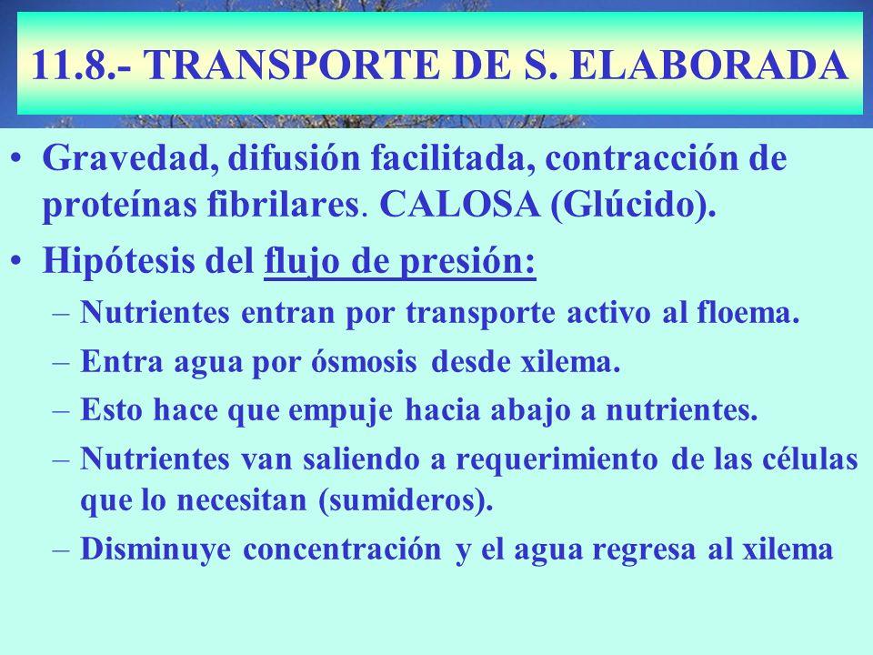 11.8.- TRANSPORTE DE S. ELABORADA Gravedad, difusión facilitada, contracción de proteínas fibrilares. CALOSA (Glúcido). Hipótesis del flujo de presión