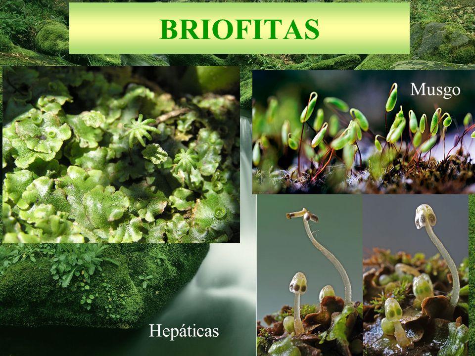 BRIOFITAS Hepáticas Musgo