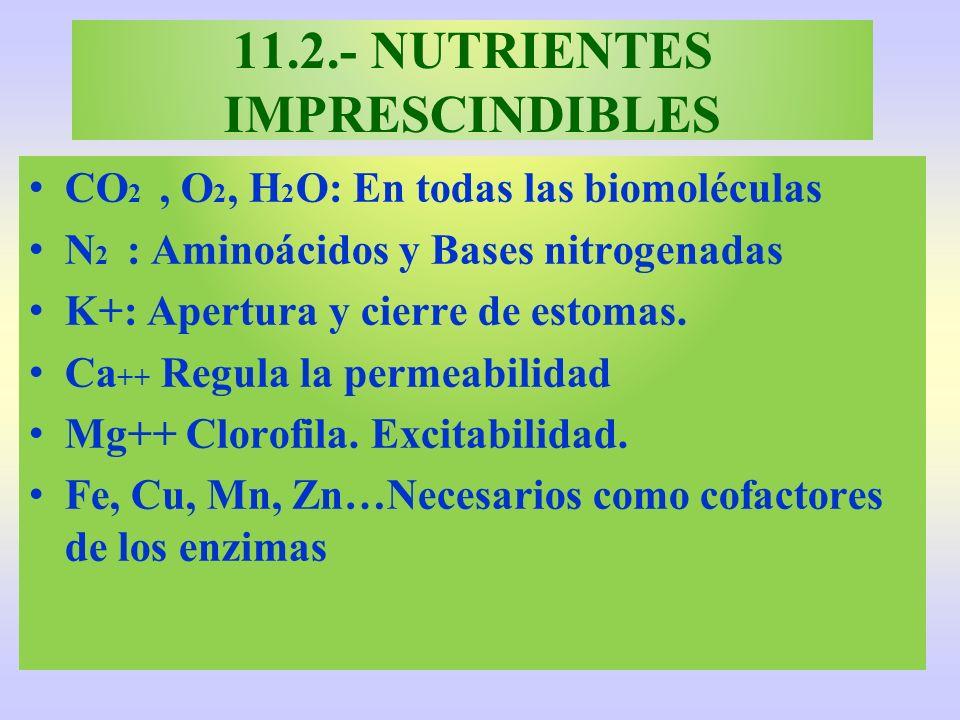 11.2.- NUTRIENTES IMPRESCINDIBLES CO 2, O 2, H 2 O: En todas las biomoléculas N 2 : Aminoácidos y Bases nitrogenadas K+: Apertura y cierre de estomas.