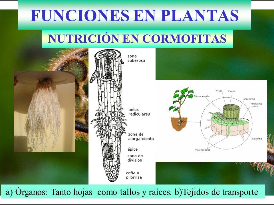 11.3.- NUTRICIÓN EN CORMOFITAS 1.ABSORCIÓN DE NUTRIENTES 2.TRANSPORTE SAVIA BRUTA 3.INTERCAMBIO DE GASES (CO 2 y O 2 ) 4.FOTOSÍNTESIS 5.TRANSPIRACIÓN ( H 2 O) 6.TRANSPORTE DE SAVIA ELABORADA 7.RESPIRACIÓN CELULAR (CATABOLISMO) 8.EXCRECIÓN PRODUCTOS DESECHO