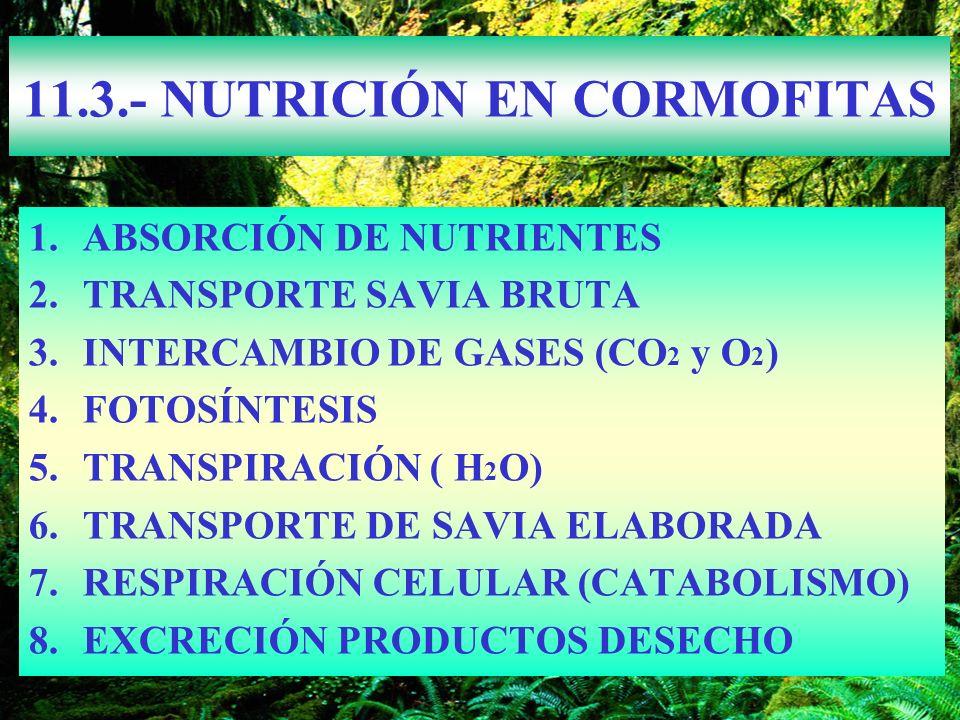11.3.- NUTRICIÓN EN CORMOFITAS 1.ABSORCIÓN DE NUTRIENTES 2.TRANSPORTE SAVIA BRUTA 3.INTERCAMBIO DE GASES (CO 2 y O 2 ) 4.FOTOSÍNTESIS 5.TRANSPIRACIÓN
