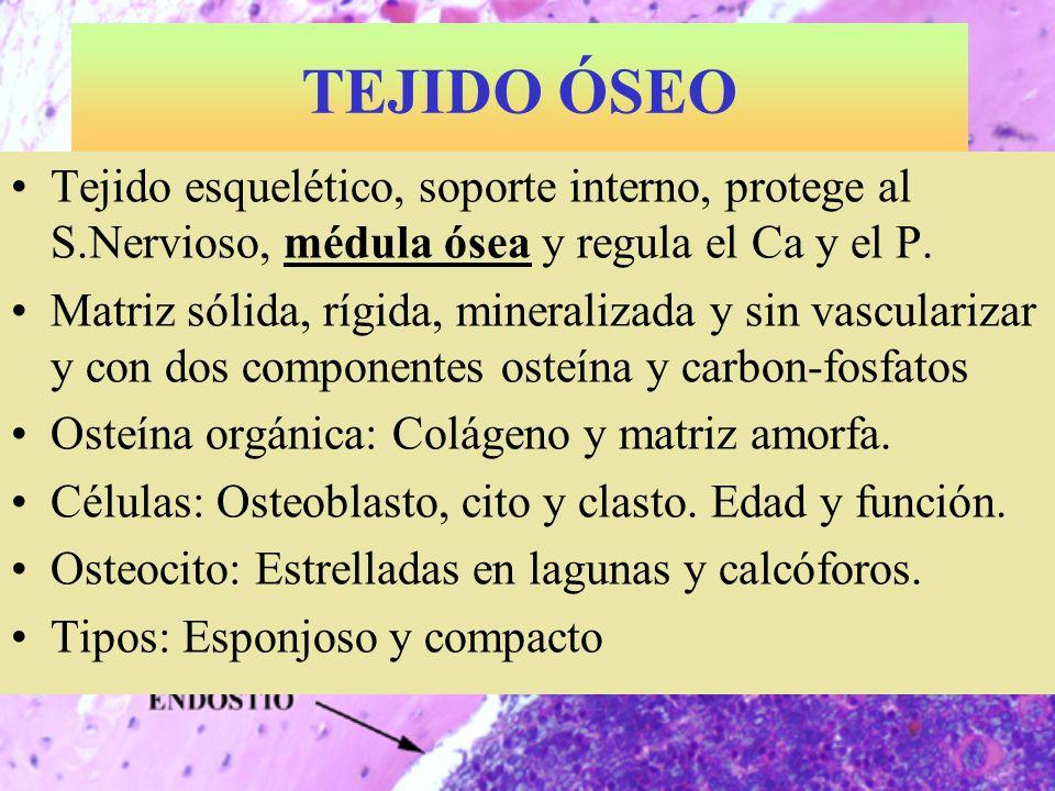 TEJIDO ÓSEO Tejido esquelético, soporte interno, protege al S.Nervioso, médula ósea y regula el Ca y el P. Matriz sólida, rígida, mineralizada y sin v
