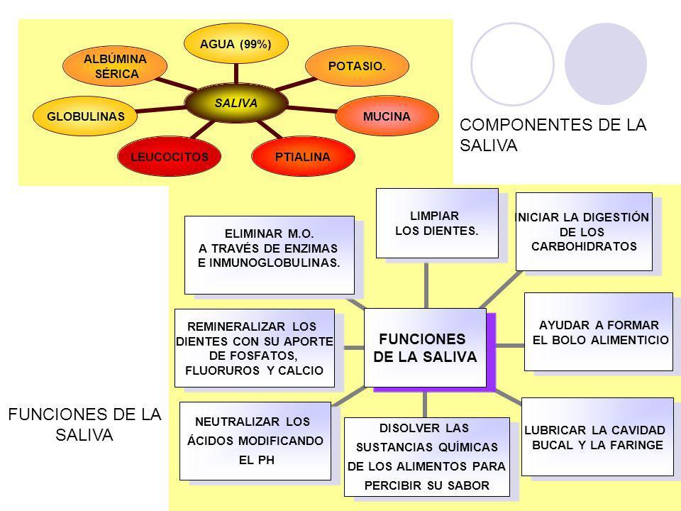 SALIVA AGUA (99%)POTASIO.MUCINAPTIALINA LEUCOCITO S GLOBULINA S ALBÚMINA SÉRICA FUNCIONES DE LA SALIVA LIMPIAR LOS DIENTES.