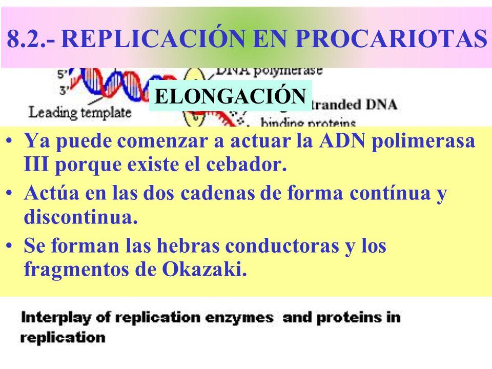 8.2.- REPLICACIÓN EN PROCARIOTAS Ya puede comenzar a actuar la ADN polimerasa III porque existe el cebador. Actúa en las dos cadenas de forma contínua
