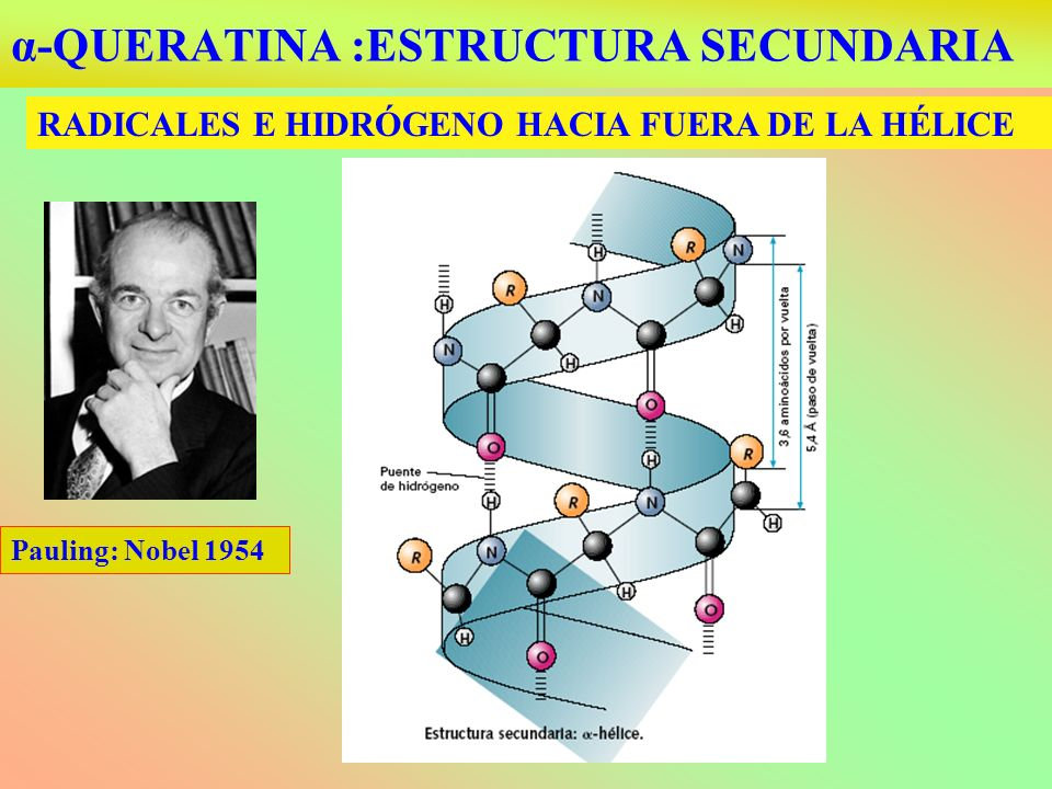 α-QUERATINA :ESTRUCTURA SECUNDARIA RADICALES E HIDRÓGENO HACIA FUERA DE LA HÉLICE Pauling: Nobel 1954