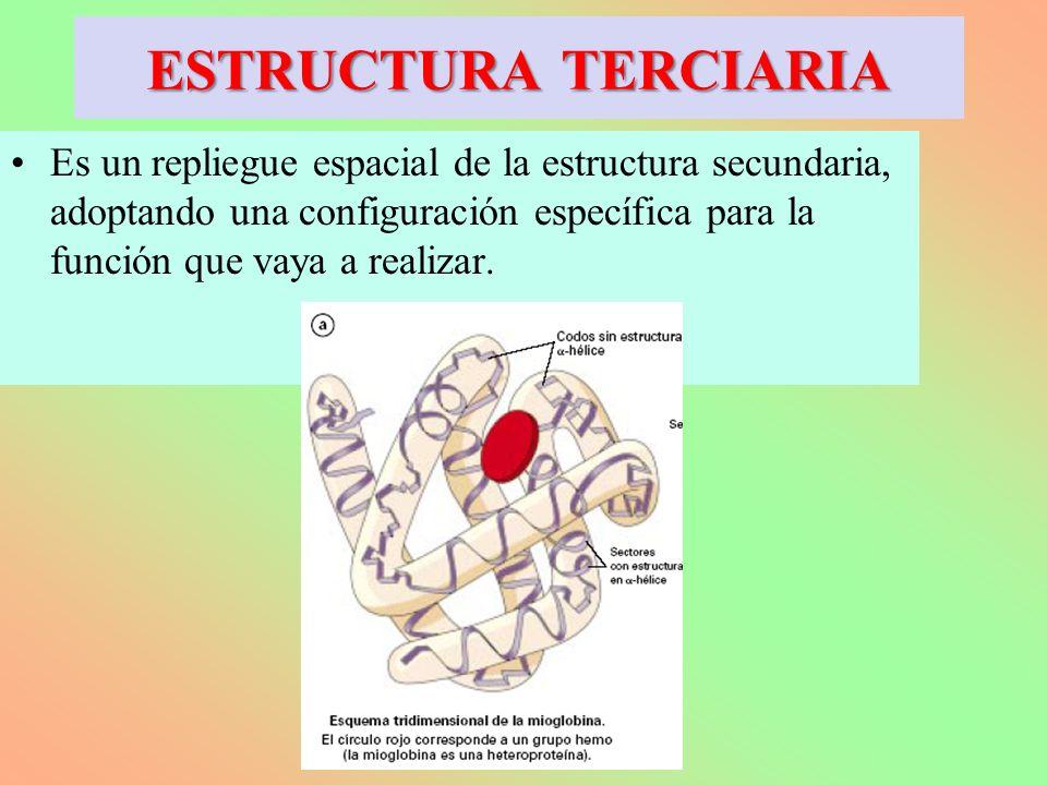 Es un repliegue espacial de la estructura secundaria, adoptando una configuración específica para la función que vaya a realizar. ESTRUCTURA TERCIARIA