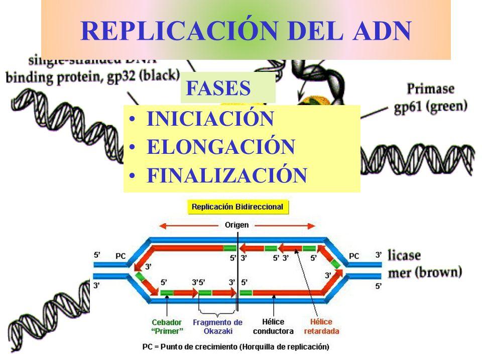 REPLICACIÓN DEL ADN INICIACIÓN ELONGACIÓN FINALIZACIÓN FASES