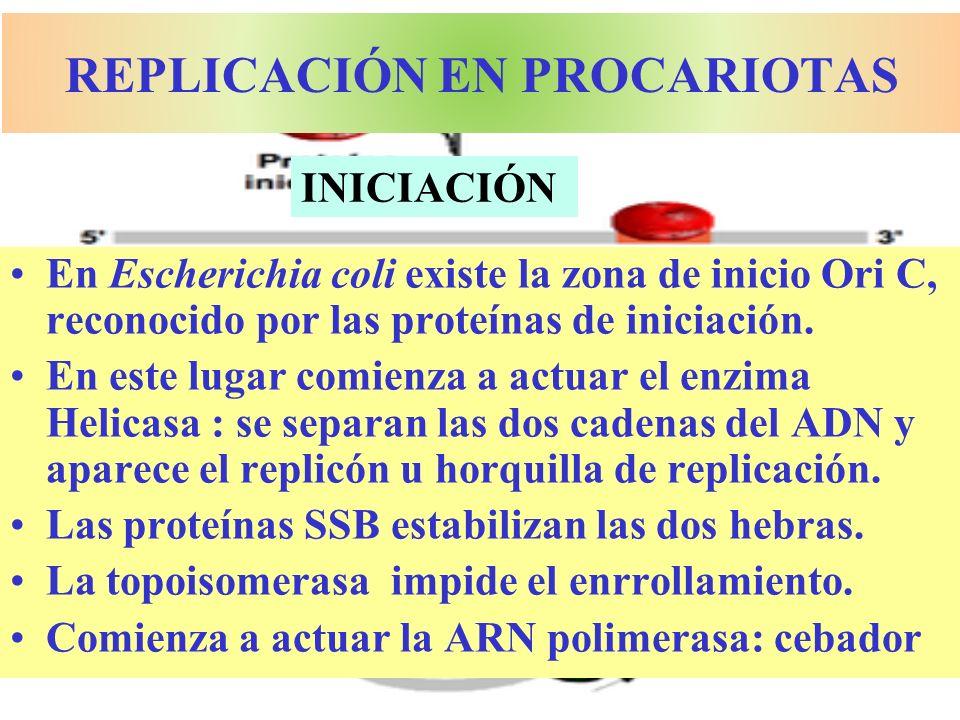 REPLICACIÓN EN PROCARIOTAS En Escherichia coli existe la zona de inicio Ori C, reconocido por las proteínas de iniciación. En este lugar comienza a ac