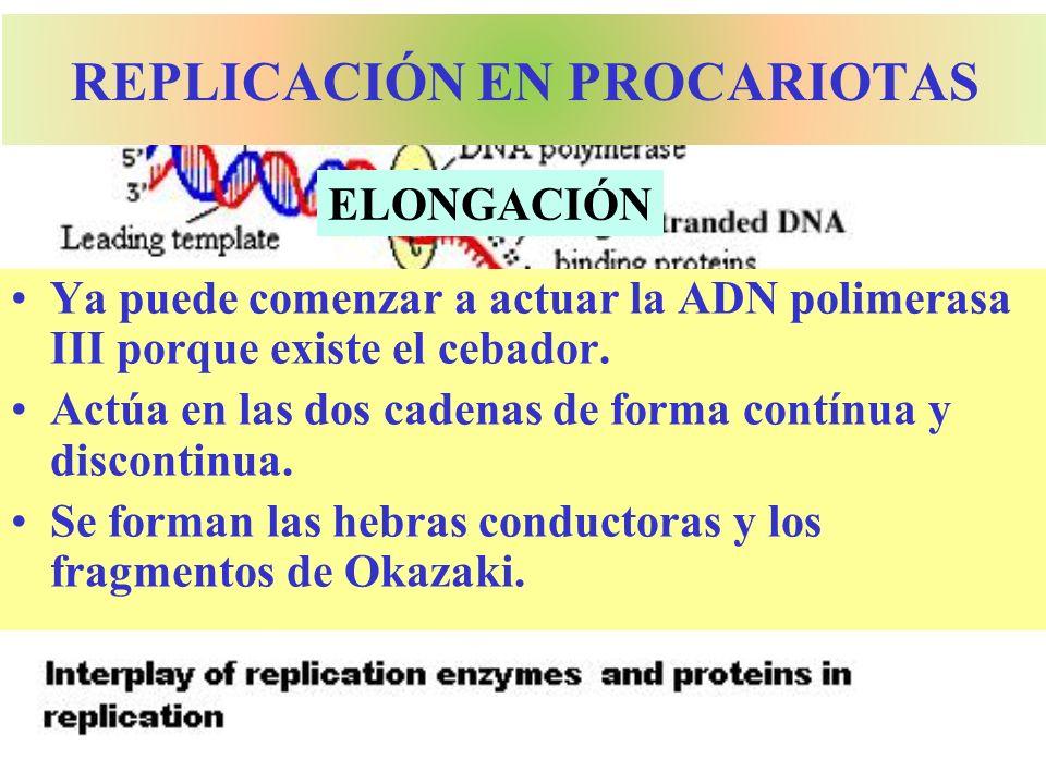 REPLICACIÓN EN PROCARIOTAS Ya puede comenzar a actuar la ADN polimerasa III porque existe el cebador. Actúa en las dos cadenas de forma contínua y dis