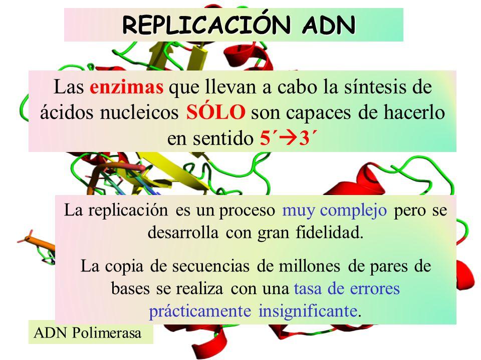 ADN Polimerasa Las enzimas que llevan a cabo la síntesis de ácidos nucleicos SÓLO son capaces de hacerlo en sentido 5´ 3´ La replicación es un proceso