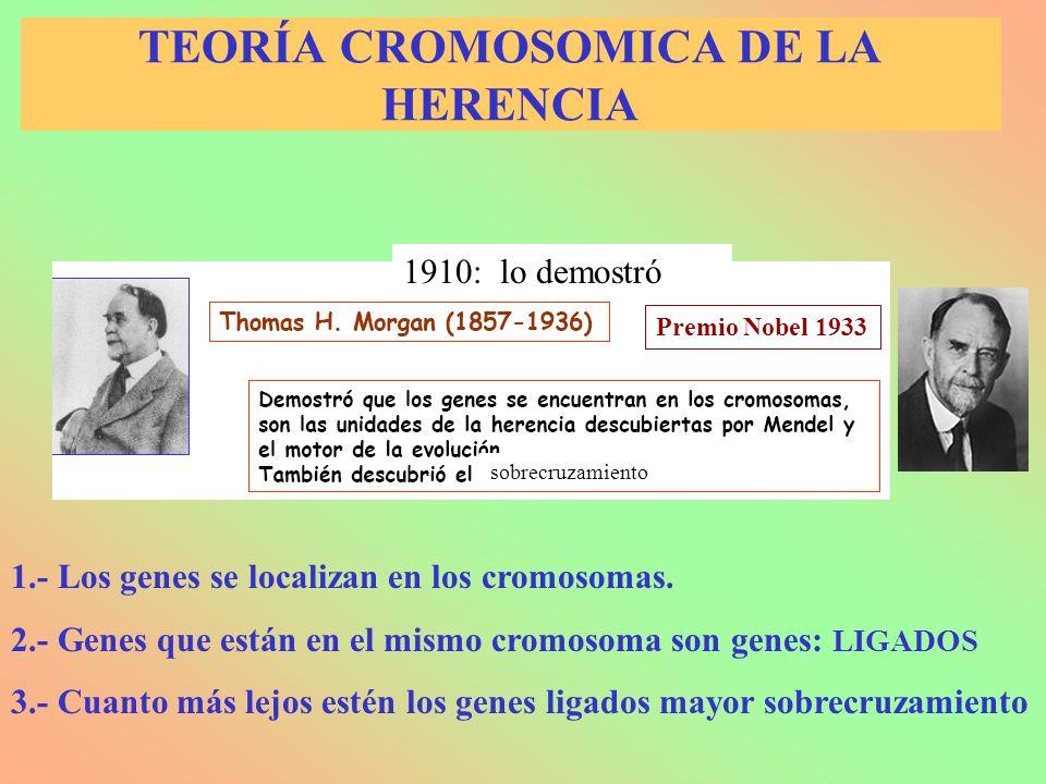 TEORÍA CROMOSOMICA DE LA HERENCIA 1.- Los genes se localizan en los cromosomas. 2.- Genes que están en el mismo cromosoma son genes: LIGADOS 3.- Cuant