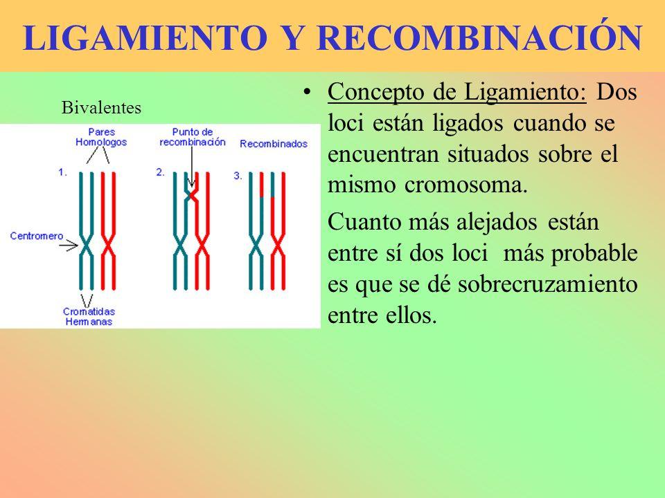 LIGAMIENTO Y RECOMBINACIÓN Concepto de Ligamiento: Dos loci están ligados cuando se encuentran situados sobre el mismo cromosoma. Cuanto más alejados