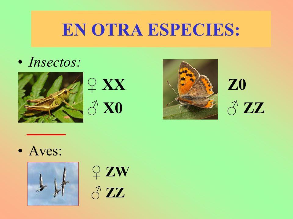 EN OTRA ESPECIES: Insectos: XX Z0 X0 ZZ Aves: ZW ZZ