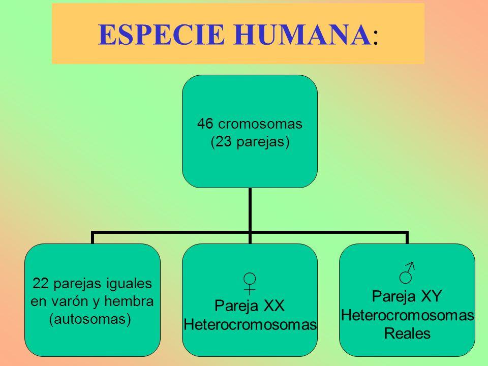 ESPECIE HUMANA: 46 cromosomas (23 parejas) 22 parejas iguales en varón y hembra (autosomas) Pareja XX Heterocromosomas Pareja XY Heterocromosomas Real