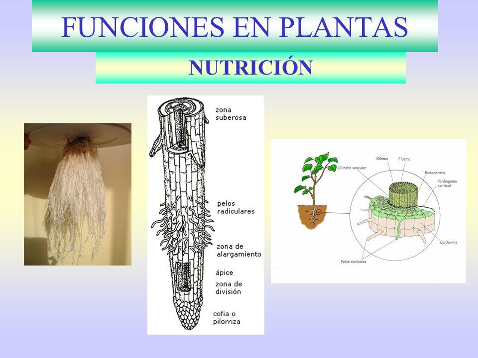 FUNCIONES EN PLANTAS NUTRICIÓN 1.- ABSORCIÓN DE NUTRIENTES: a.-Talofitas: Acuáticas y por difusión.