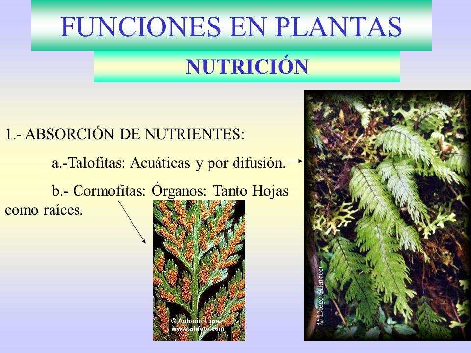FUNCIONES EN PLANTAS NUTRICIÓN 1.- ABSORCIÓN DE NUTRIENTES: a.-Talofitas: Acuáticas y por difusión. b.- Cormofitas: Órganos: Tanto Hojas como raíces.