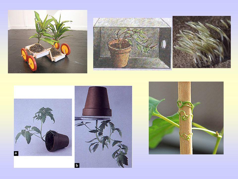 FITOHORMONAS Auxinas: Meristemo terminal.Crecimiento y Tropismos.