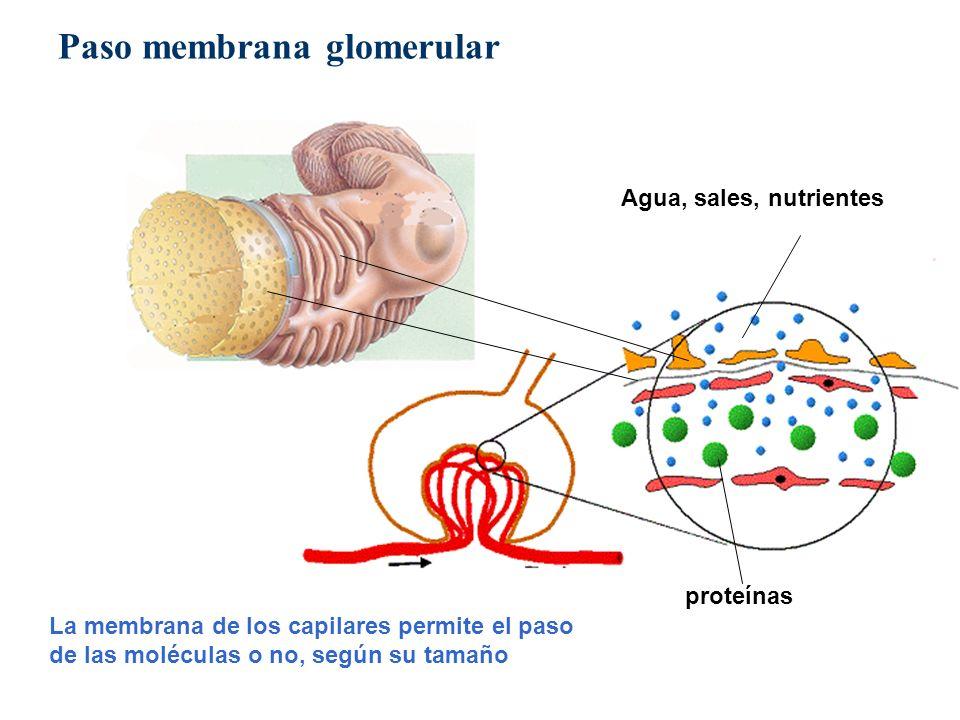 proteínas Agua, sales, nutrientes La membrana de los capilares permite el paso de las moléculas o no, según su tamaño Paso membrana glomerular