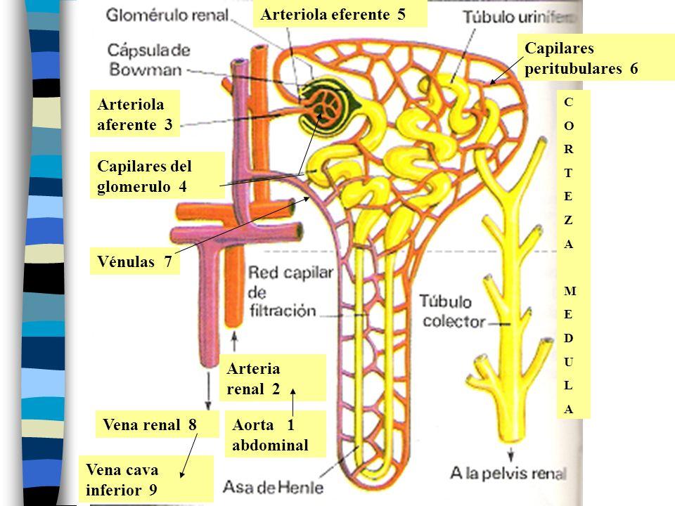 CORTEZAMEDULACORTEZAMEDULA Arteria renal 2 Aorta 1 abdominal Arteriola aferente 3 Capilares del glomerulo 4 Arteriola eferente 5 Capilares peritubular