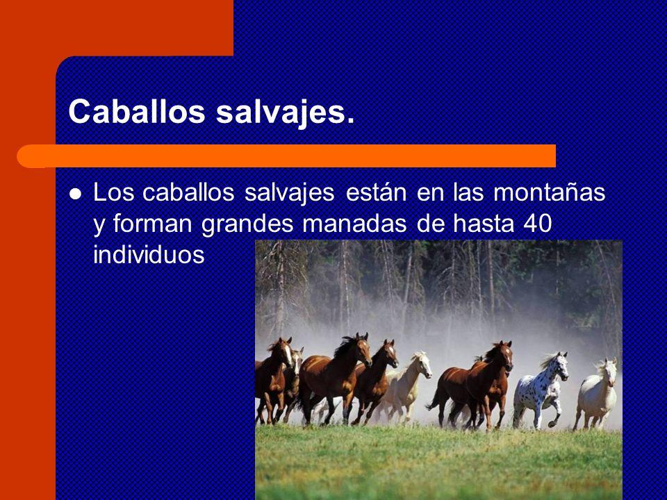 Caballos salvajes. Los caballos salvajes están en las montañas y forman grandes manadas de hasta 40 individuos