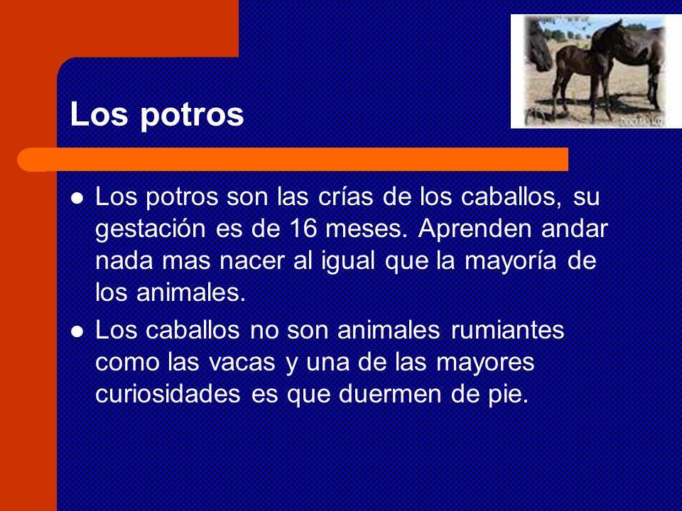 Los potros Los potros son las crías de los caballos, su gestación es de 16 meses. Aprenden andar nada mas nacer al igual que la mayoría de los animale