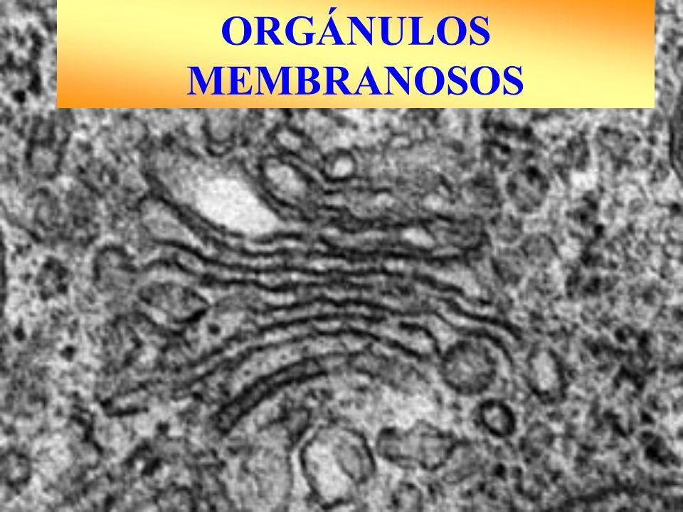 ORGÁNULOS MEMBRANOSOS