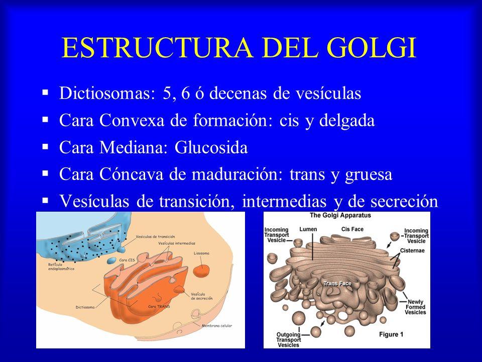 ESTRUCTURA DEL GOLGI Dictiosomas: 5, 6 ó decenas de vesículas Cara Convexa de formación: cis y delgada Cara Mediana: Glucosida Cara Cóncava de madurac