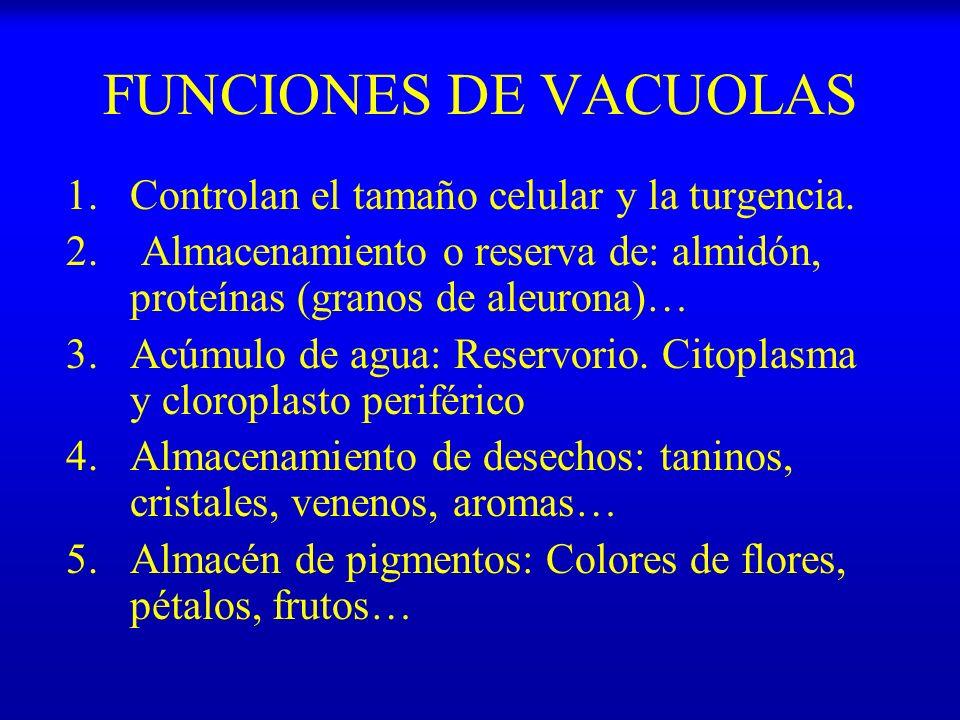 FUNCIONES DE VACUOLAS 1.Controlan el tamaño celular y la turgencia. 2. Almacenamiento o reserva de: almidón, proteínas (granos de aleurona)… 3.Acúmulo