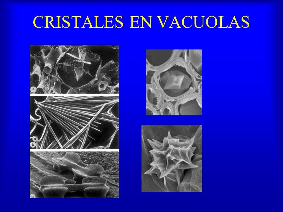 CRISTALES EN VACUOLAS