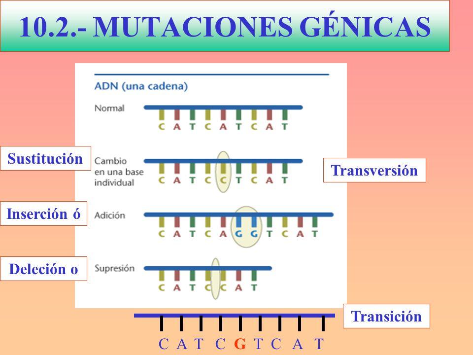 10.2.- MUTACIONES GÉNICAS C A T C G T C A T Transversión Transición Deleción o Inserción ó Sustitución