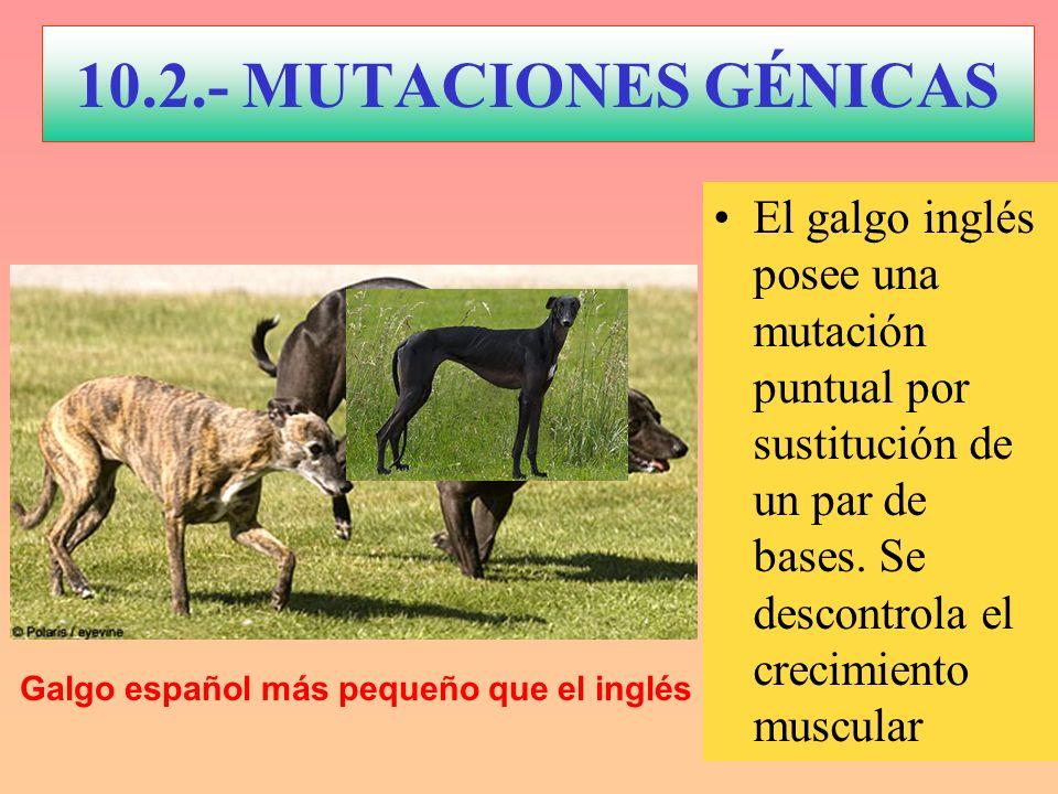 El galgo inglés posee una mutación puntual por sustitución de un par de bases. Se descontrola el crecimiento muscular Galgo español más pequeño que el
