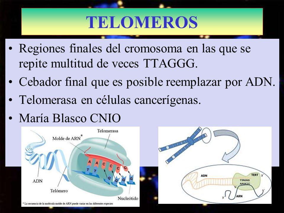 TELOMEROS Regiones finales del cromosoma en las que se repite multitud de veces TTAGGG. Cebador final que es posible reemplazar por ADN. Telomerasa en
