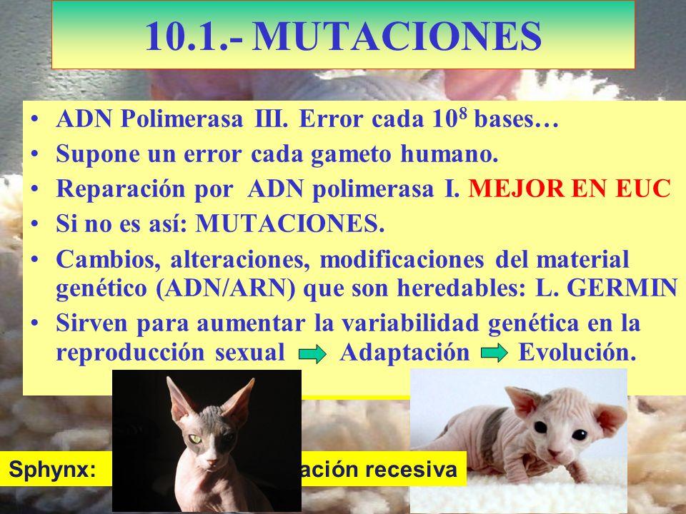 Kohona: Doble mutación 10.1.- MUTACIONES ADN Polimerasa III. Error cada 10 8 bases… Supone un error cada gameto humano. Reparación por ADN polimerasa