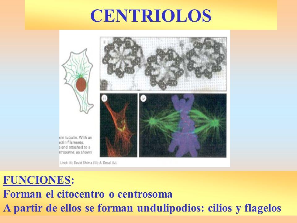 CENTRIOLOS FUNCIONES: Forman el citocentro o centrosoma A partir de ellos se forman undulipodios: cilios y flagelos