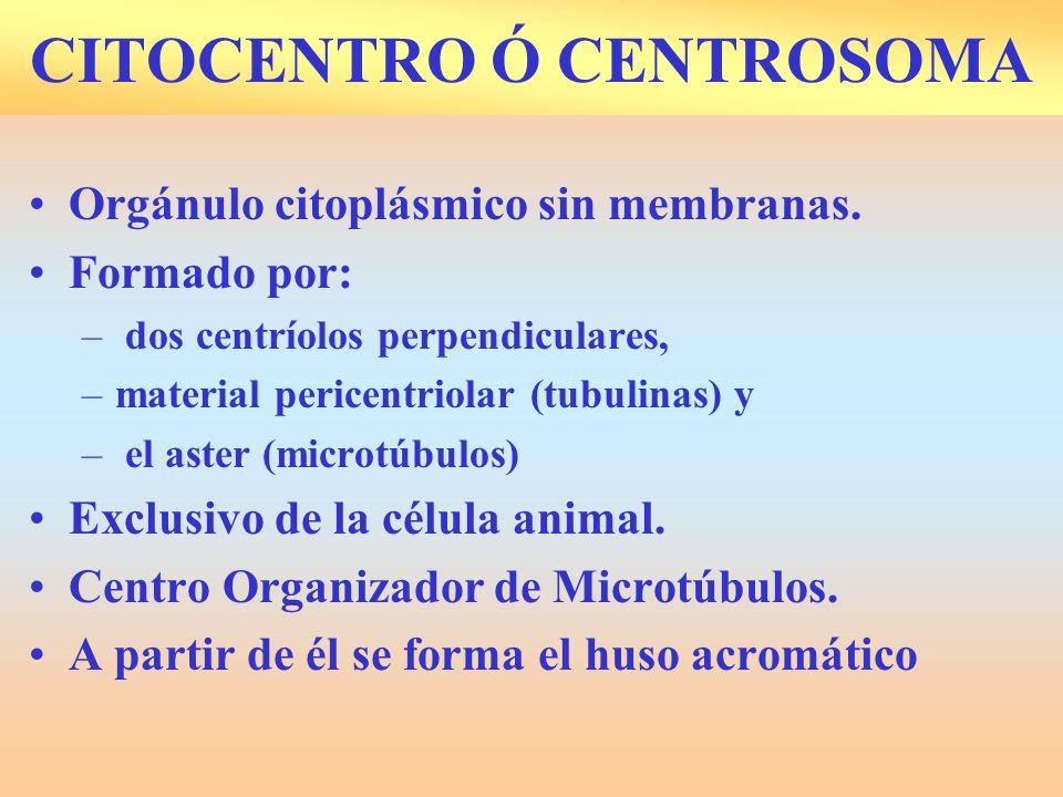 CITOCENTRO Ó CENTROSOMA Orgánulo citoplásmico sin membranas. Formado por: – dos centríolos perpendiculares, –material pericentriolar (tubulinas) y – e