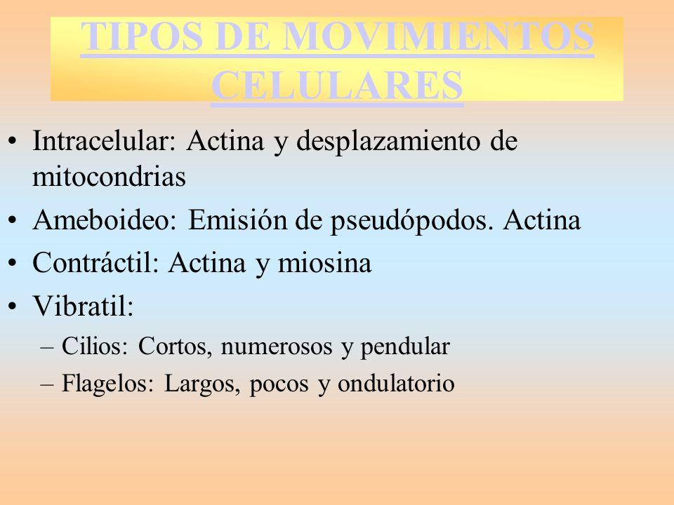 TIPOS DE MOVIMIENTOS CELULARES Intracelular: Actina y desplazamiento de mitocondrias Ameboideo: Emisión de pseudópodos. Actina Contráctil: Actina y mi