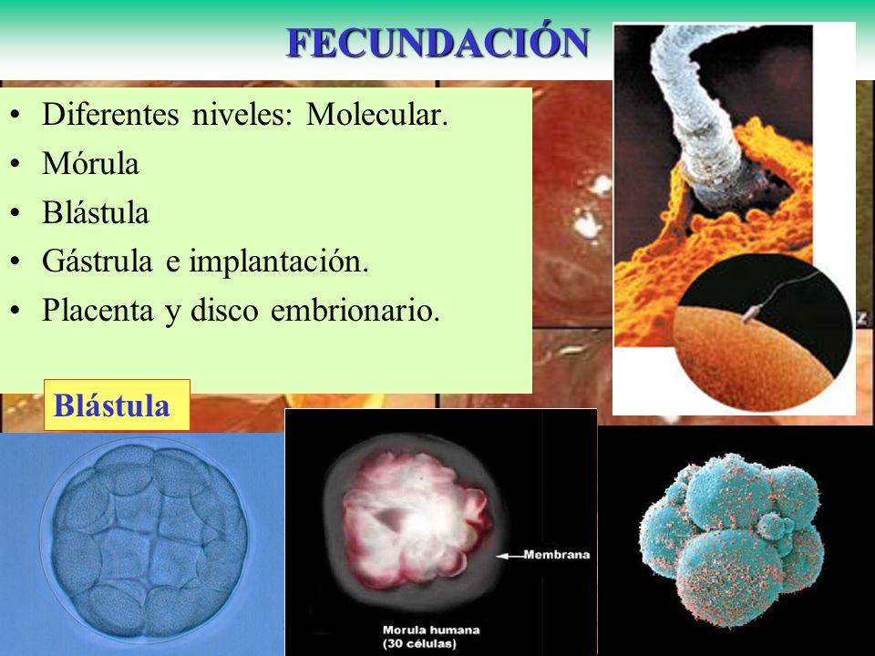 Diferentes niveles: Molecular. Mórula Blástula Gástrula e implantación. Placenta y disco embrionario.FECUNDACIÓN Blástula