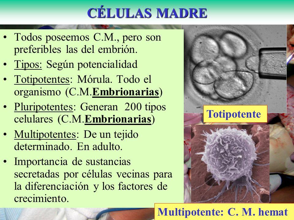CÉLULAS MADRE Hematopoyéticas Pluripotentes Totipotente Todos poseemos C.M., pero son preferibles las del embrión. Tipos: Según potencialidad Totipote