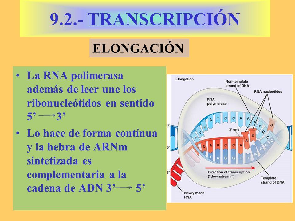 La RNA polimerasa además de leer une los ribonucleótidos en sentido 5 3 Lo hace de forma contínua y la hebra de ARNm sintetizada es complementaria a la cadena de ADN 3 5 9.2.- TRANSCRIPCIÓN ELONGACIÓN
