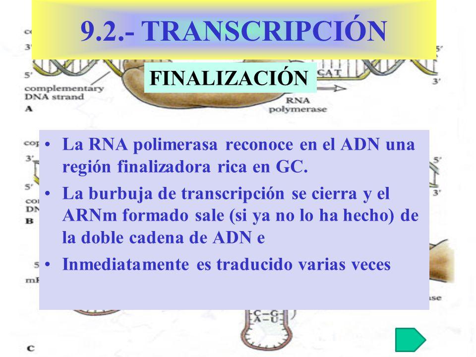 La RNA polimerasa reconoce en el ADN una región finalizadora rica en GC.