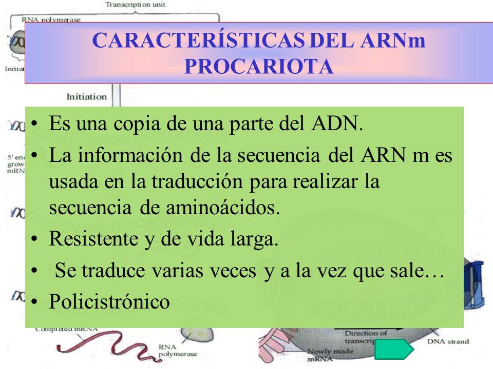 CARACTERÍSTICAS DEL ARNm PROCARIOTA Es una copia de una parte del ADN. La información de la secuencia del ARN m es usada en la traducción para realiza
