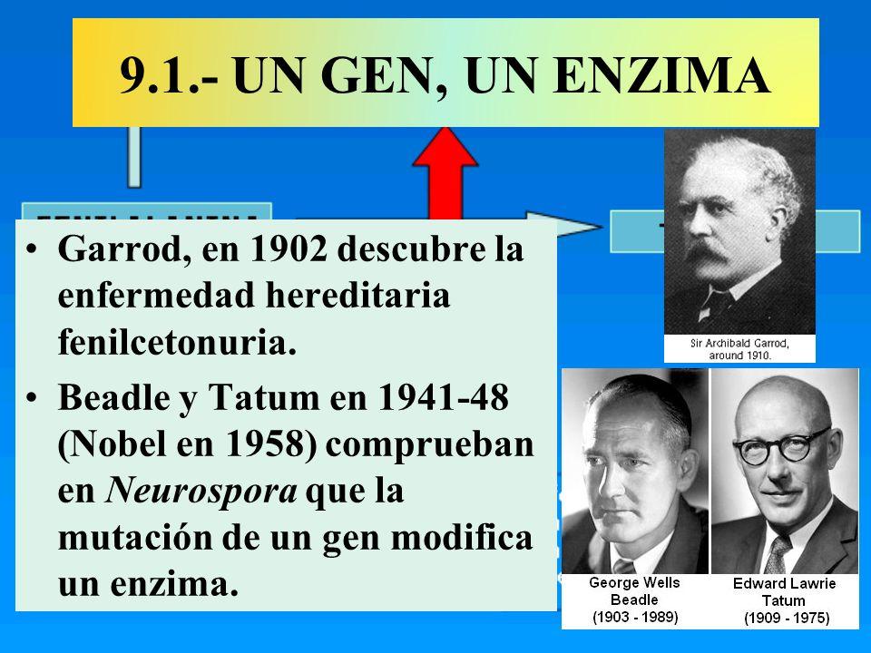 9.1.- UN GEN, UN ENZIMA Garrod, en 1902 descubre la enfermedad hereditaria fenilcetonuria. Beadle y Tatum en 1941-48 (Nobel en 1958) comprueban en Neu