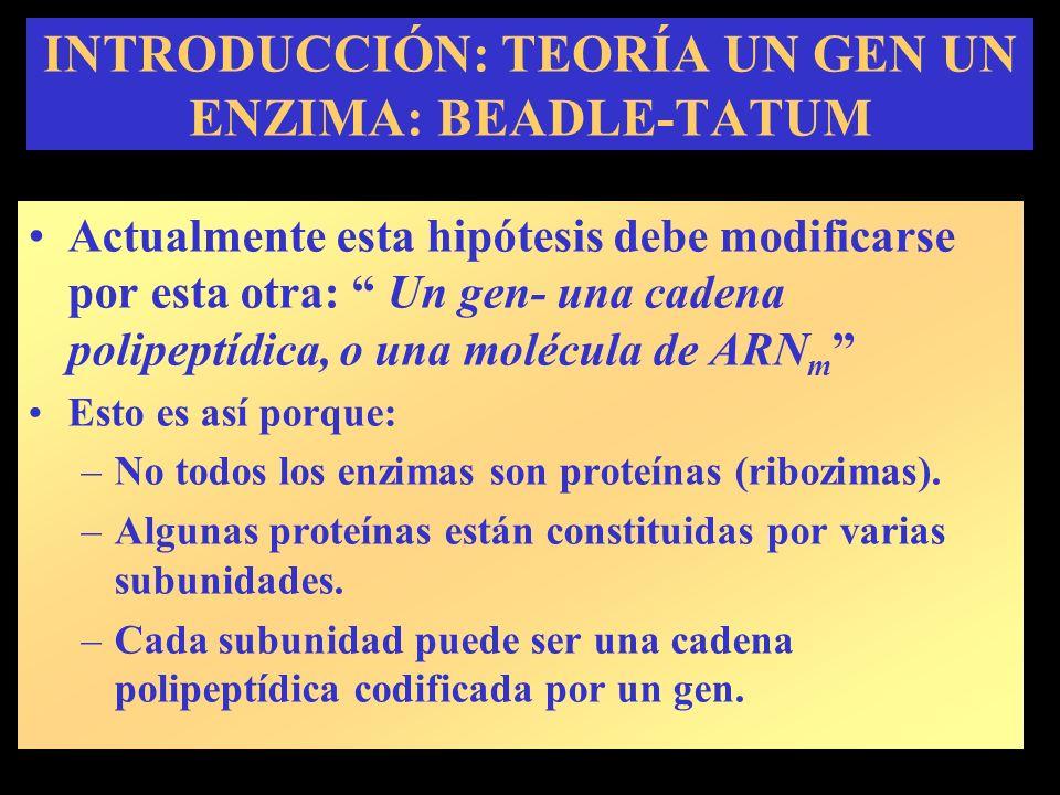 INTRODUCCIÓN: TEORÍA UN GEN UN ENZIMA: BEADLE-TATUM Ribozima Actualmente esta hipótesis debe modificarse por esta otra: Un gen- una cadena polipeptídica, o una molécula de ARN m Esto es así porque: –No todos los enzimas son proteínas (ribozimas).