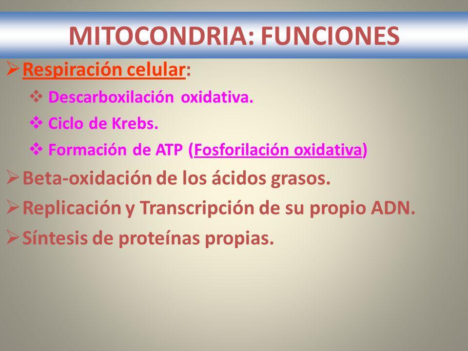 MITOCONDRIA: FUNCIONES Respiración celular: Descarboxilación oxidativa. Ciclo de Krebs. Formación de ATP (Fosforilación oxidativa) Beta-oxidación de l