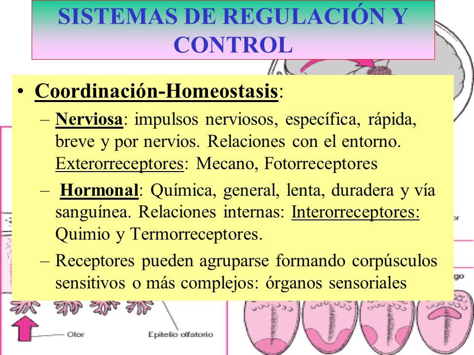Coordinación-Homeostasis: –Nerviosa: impulsos nerviosos, específica, rápida, breve y por nervios. Relaciones con el entorno. Exterorreceptores: Mecano
