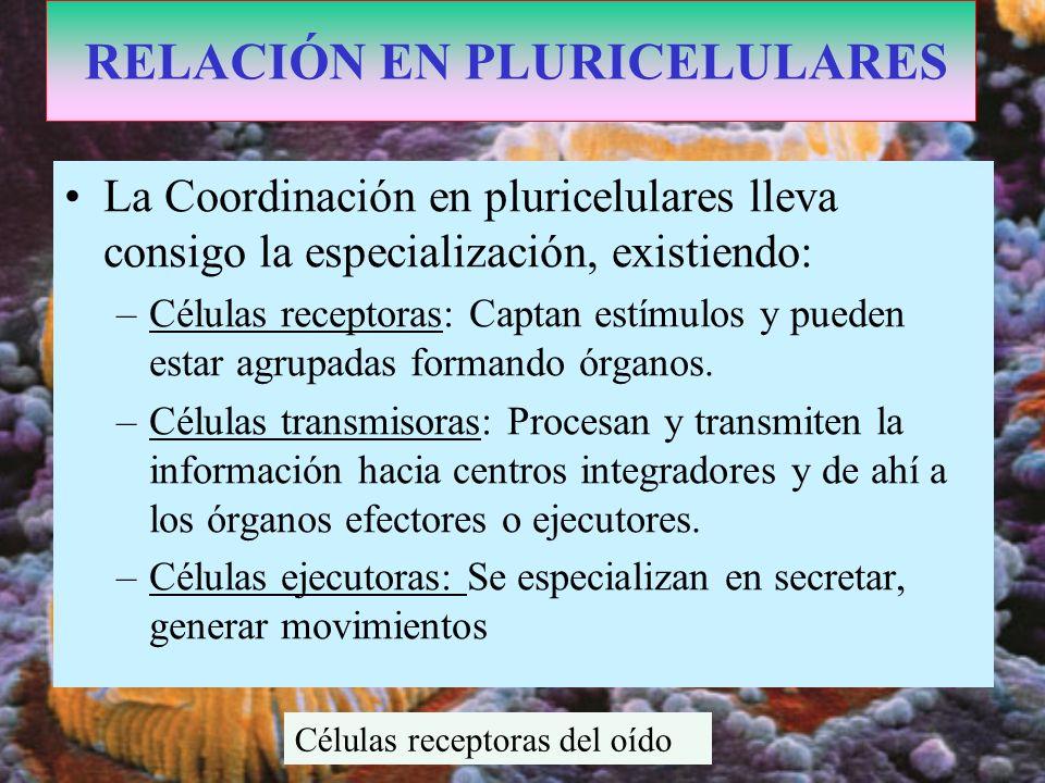 La Coordinación en pluricelulares lleva consigo la especialización, existiendo: –Células receptoras: Captan estímulos y pueden estar agrupadas formand